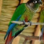 Green Cheeked Conure Screaming: How to Deal With It When You Live in a Small Apartment