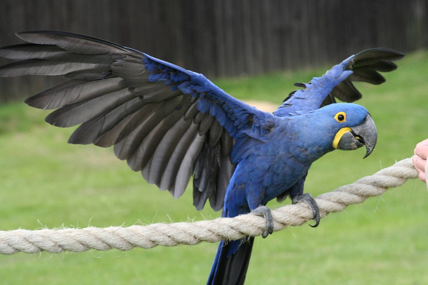 Description: http://www.singing-wings-aviary.com/wp-content/uploads/2017/09/Hyacinth-Macaw-Wingspan.jpg