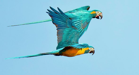 Description: Image result for blue throated macaw