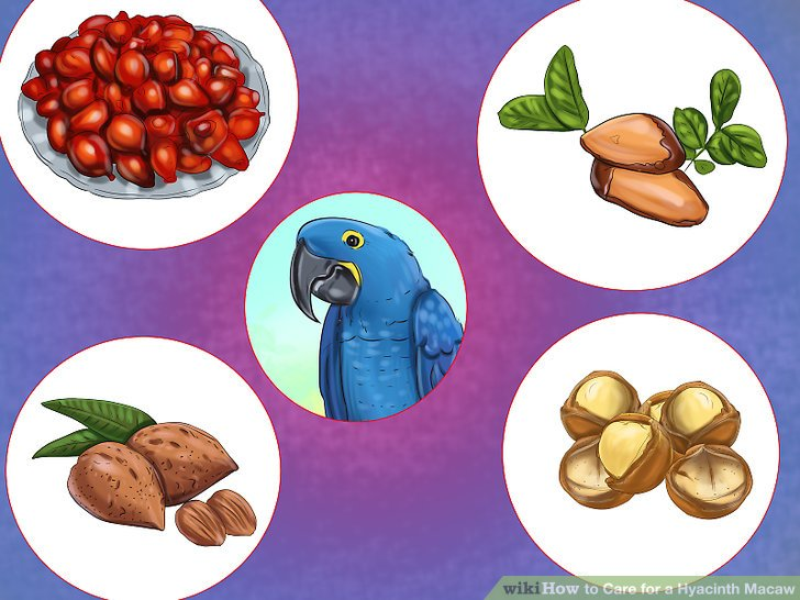 Description: https://www.wikihow.com/images/thumb/1/15/Care-for-a-Hyacinth-Macaw-Step-7.jpg/aid4914325-v4-728px-Care-for-a-Hyacinth-Macaw-Step-7.jpg