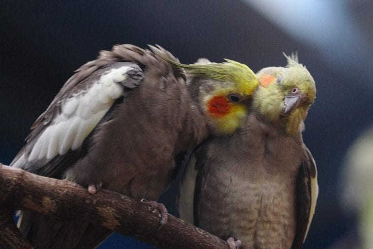 7 Reasons Why Your Pet Birds Preen