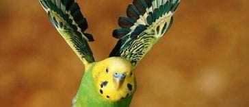 Can Parakeets Fly Fast: Parakeet's Fun Fly Facts