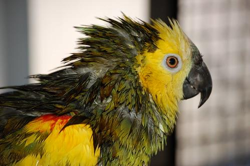 Dealing with Parrot Molting Process in the Most Comfortable Way