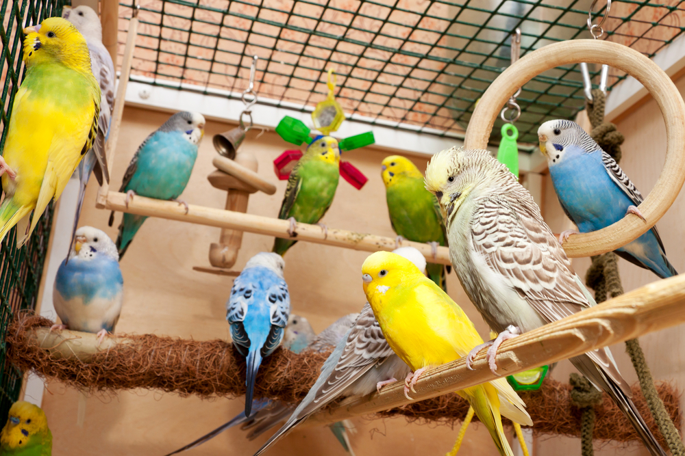 Description: Image result for How to Choose the Best Parakeet for You