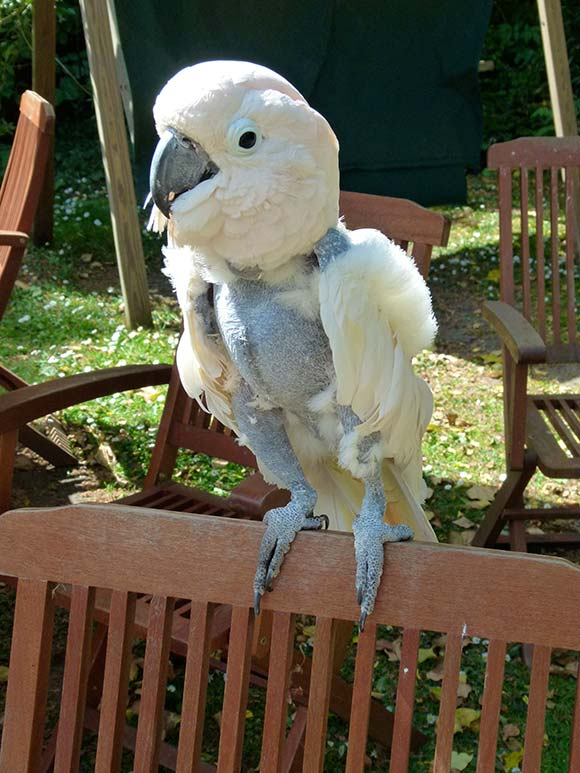 Description: Image result for how to prevent birds plucking their feathers?