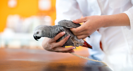 Description: Image result for How to Wrap a Bird's Broken Wing: Avian First Aid Basics
